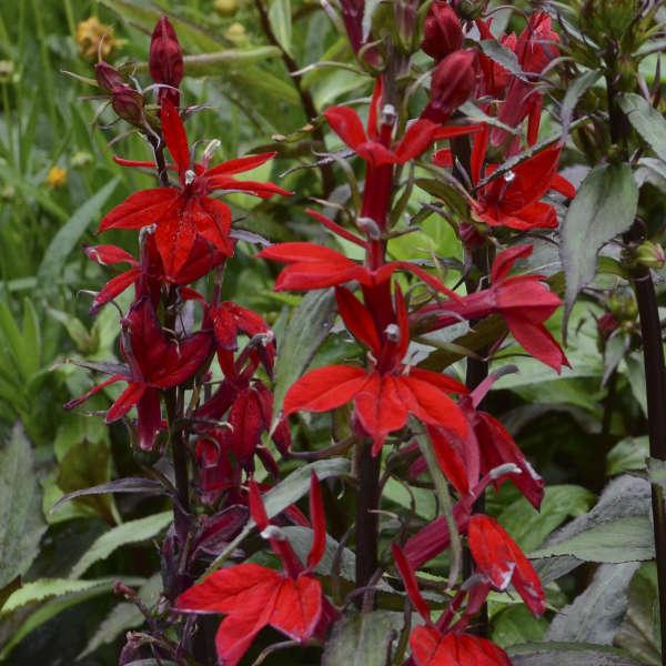 Lobelia Speciosa Vulcan Red Walters Gardens Inc
