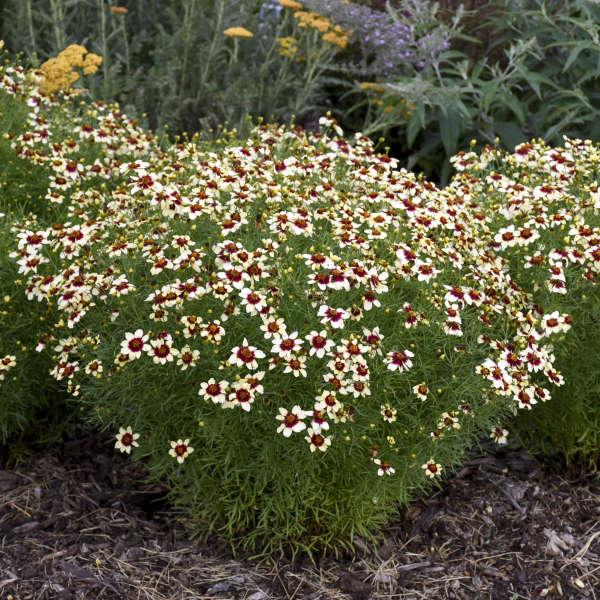 Coreopsis 'Red Hot Vanilla' Threadleaf Coreopsis