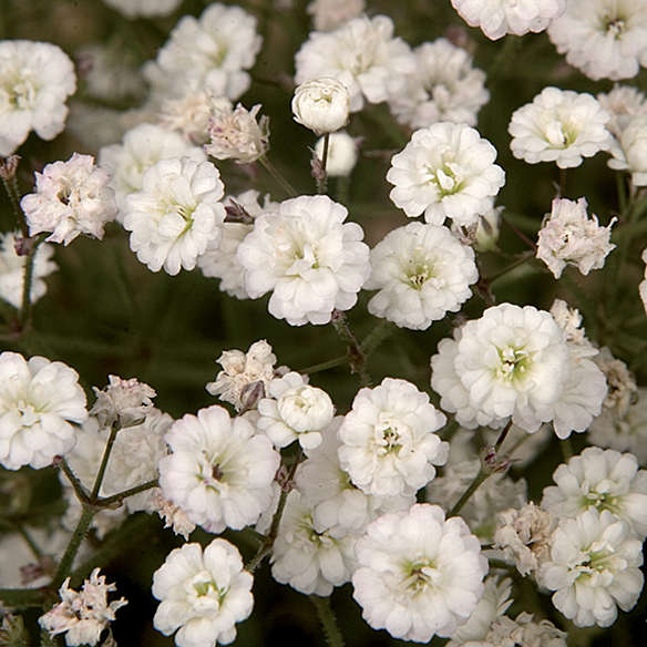 Gypsophila SUMMER SPARKLES® Baby's Breath