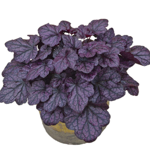 Heuchera 'Grape Expectations' Coral Bells