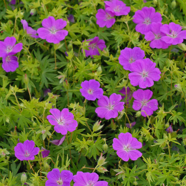 Geranium 'New Hampshire Purple' Hardy Geranium