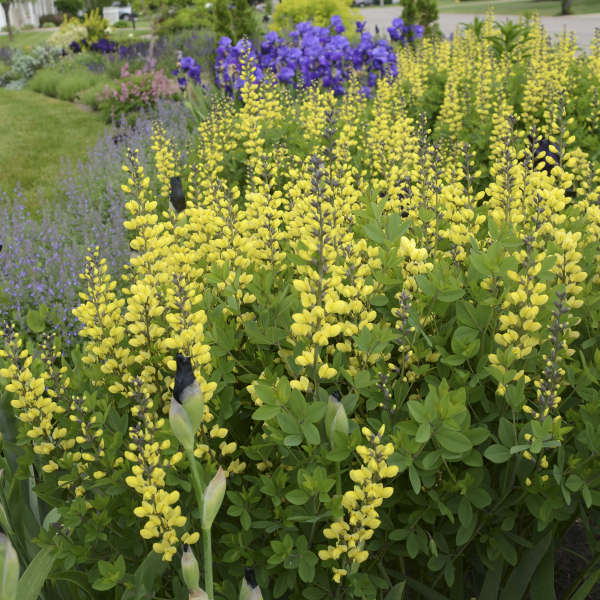 Baptisia 'Lemon Meringue' False Indigo