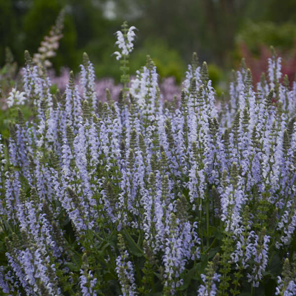 Salvia 'Crystal Blue' Perennial Salvia