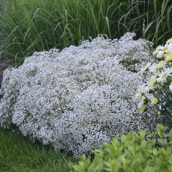 Gypsophila SUMMER SPARKLES&#174 Baby's Breath