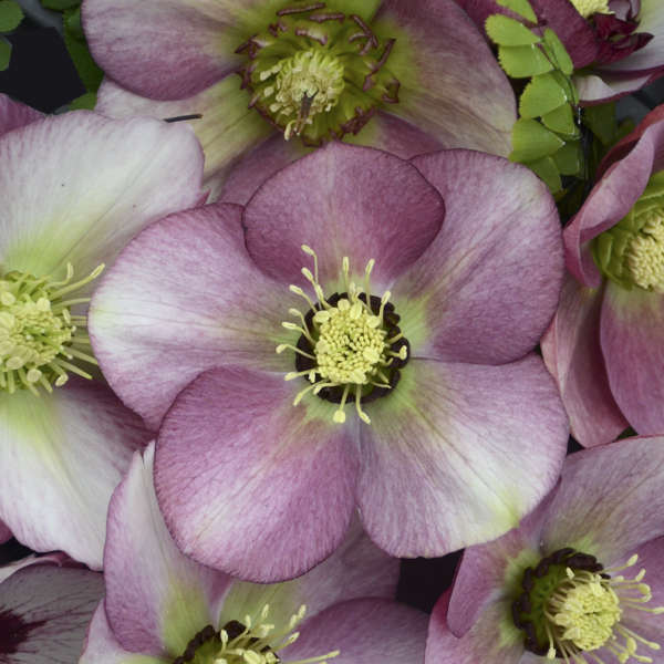 Helleborus 'Paris in Pink' Lenten Rose