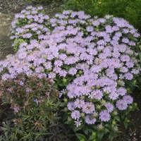 Monarda 'Leading Lady Lilac'