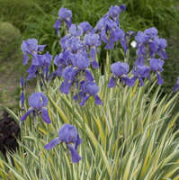 Iris 'Variegata'