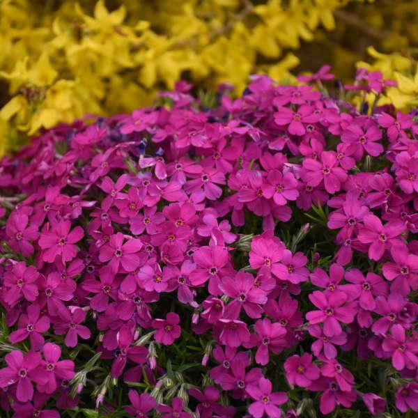 Phlox 'Majestic Magenta' Hybrid Spring Phlox