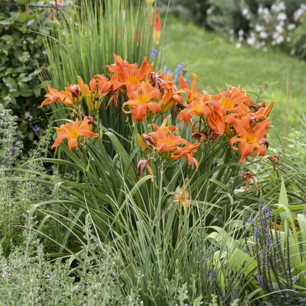 Hemerocallis 'Primal Scream' Daylily
