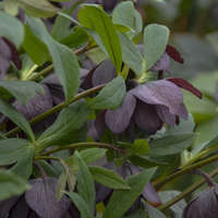 Helleborus 'Dashing Groomsmen'