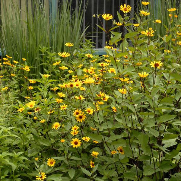Heliopsis 'Summer Nights' False Sunflower