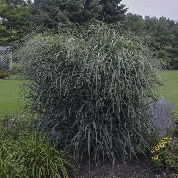 Panicum 'Blue Fountain' Blue Switch Grass