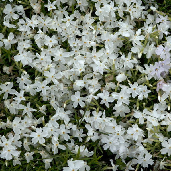Phlox 'White Delight' Creeping Phlox