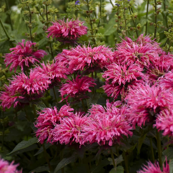 Monarda 'Pardon My Pink' Bee Balm