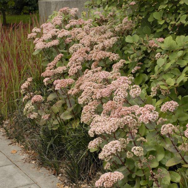 Sedum 'Matrona' Autumn Stonecrop