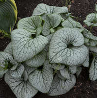 Brunnera 'Sterling Silver'