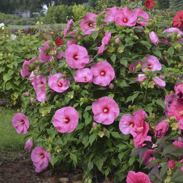 Hibiscus 'Pink Crush' Rose Mallow