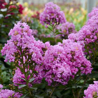 Lagerstroemia 'Frappe Pink'