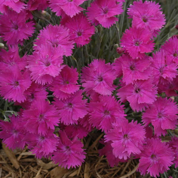 Dianthus 'Neon Star' Pinks