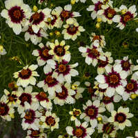 Coreopsis 'Red Hot Vanilla'