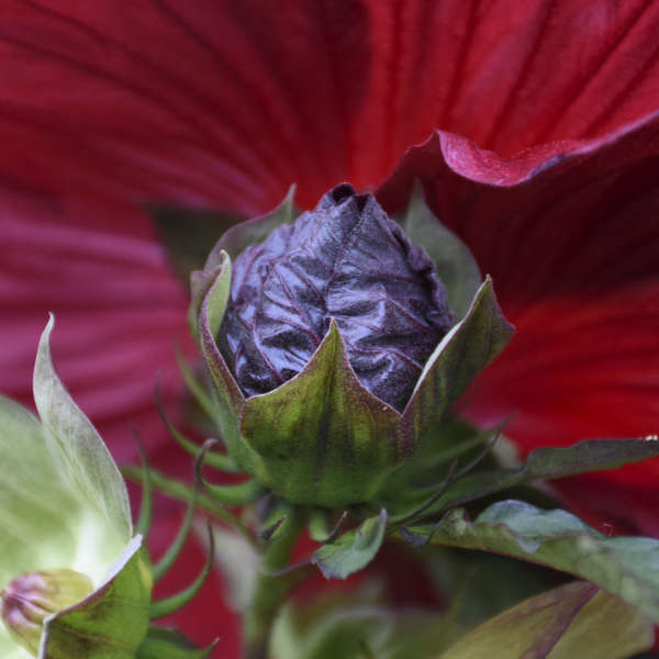 Hibiscus 'Blackberry Merlot' Rose Mallow