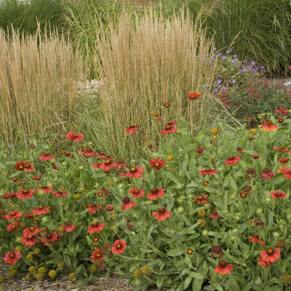 Gaillardia 'Burgundy' Blanket Flower
