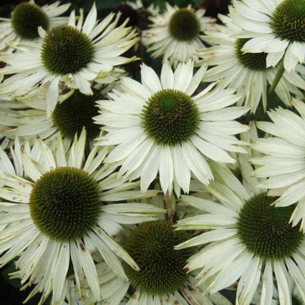 Echinacea 'Virgin' Coneflower