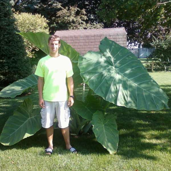 Colocasia 'Thailand Giant' Giant Elephant Ear