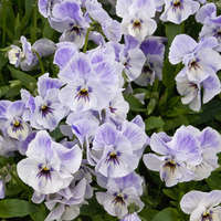 Viola 'Painted Porcelain'
