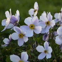 Anemone WILD SWAN™