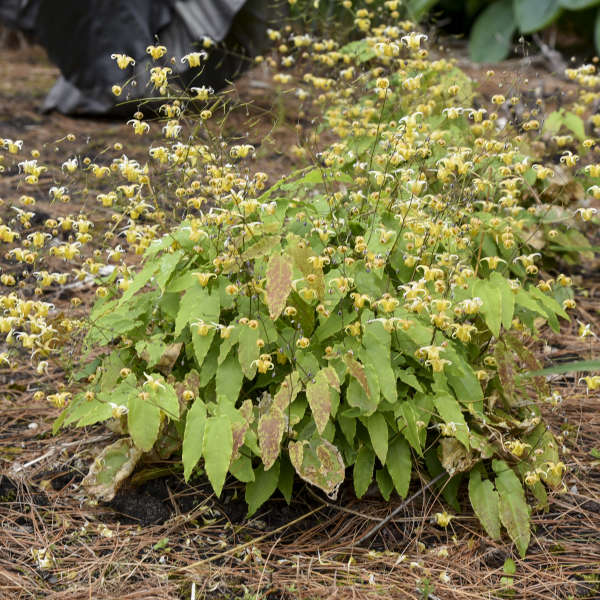 Epimedium 'Amber Queen' Barrenwort
