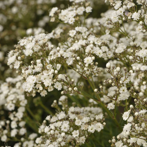 Gypsophila FESTIVAL STAR&#174 Baby's Breath