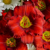 Hemerocallis 'Funny Valentine'