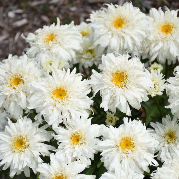 Leucanthemum 'Marshmallow' Shasta Daisy