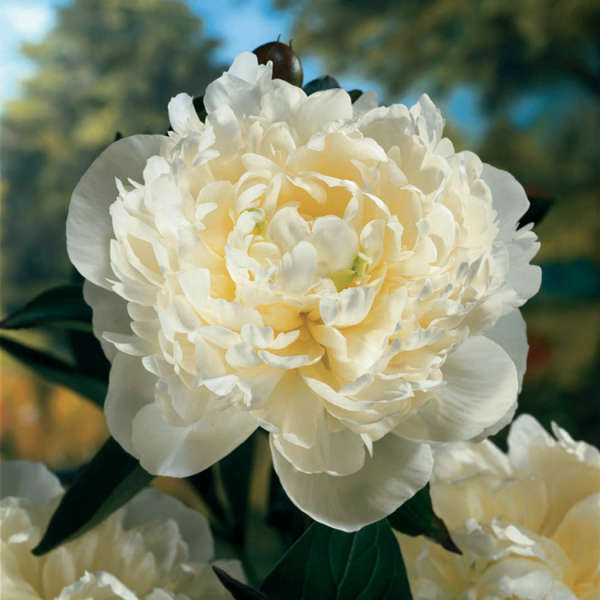 Paeonia 'Duchess de Nemours' Garden Peony