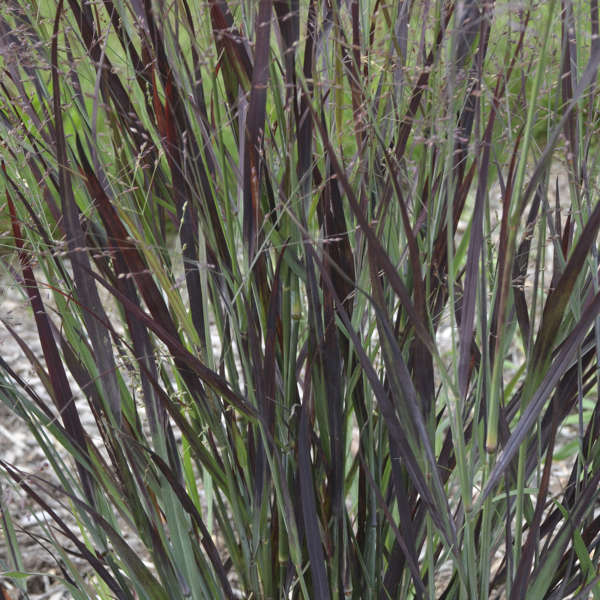 Panicum 'Blood Brothers' Red Switch Grass