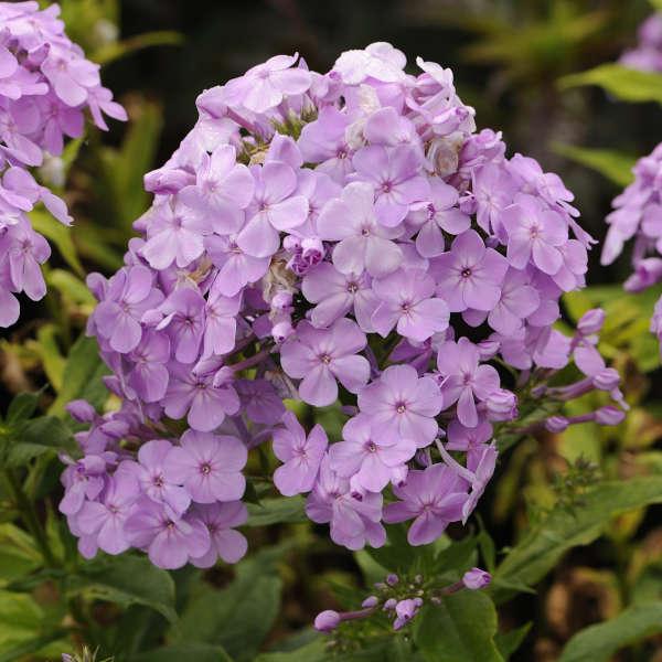 Phlox 'David's Lavender' Tall Garden Phlox