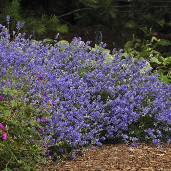 Lavandula 'Blue Cushion' English Lavender
