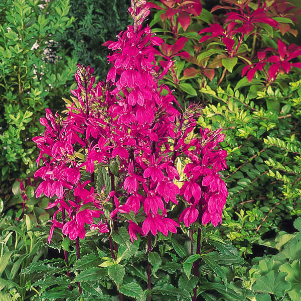 Lobelia Speciosa Fan Deep Rose Perennial Resource