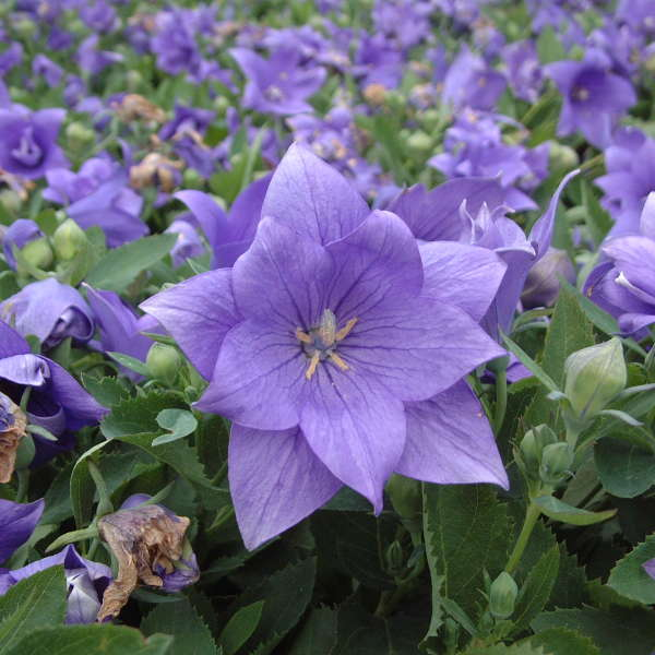 Platycodon 'Astra Double Blue' Balloon Flower