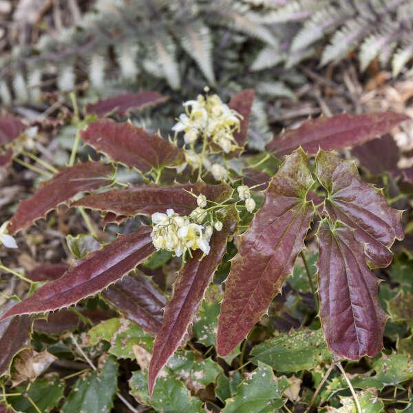Epimedium 'Sandy Claws' Barrenwort