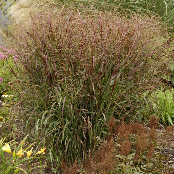 Panicum 'Prairie Fire' Switch Grass