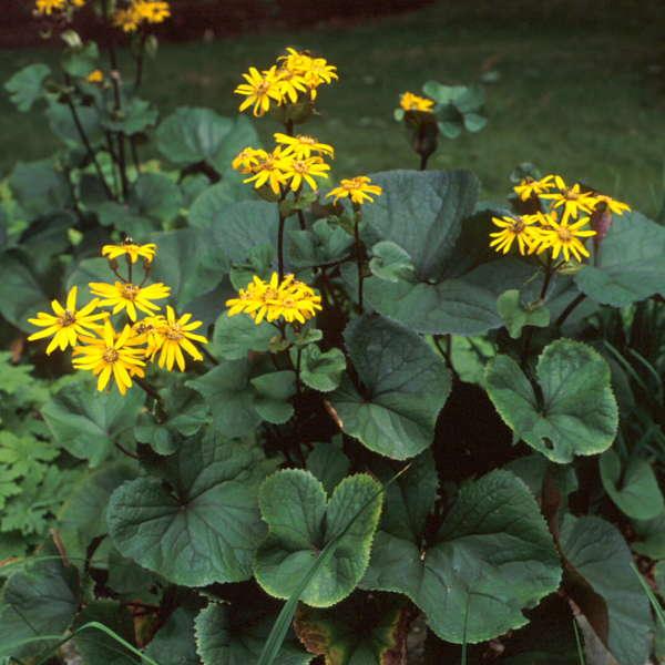 Ligularia 'Desdemona' Ligularia
