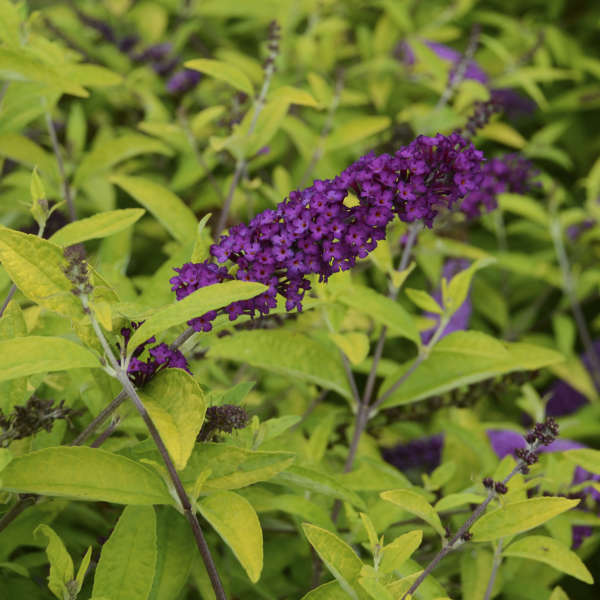 Buddleia 'Little Nugget' Butterfly Bush