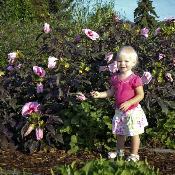 Hibiscus Summer Storm Pp20443 Cpbr4258 Perennial Resource