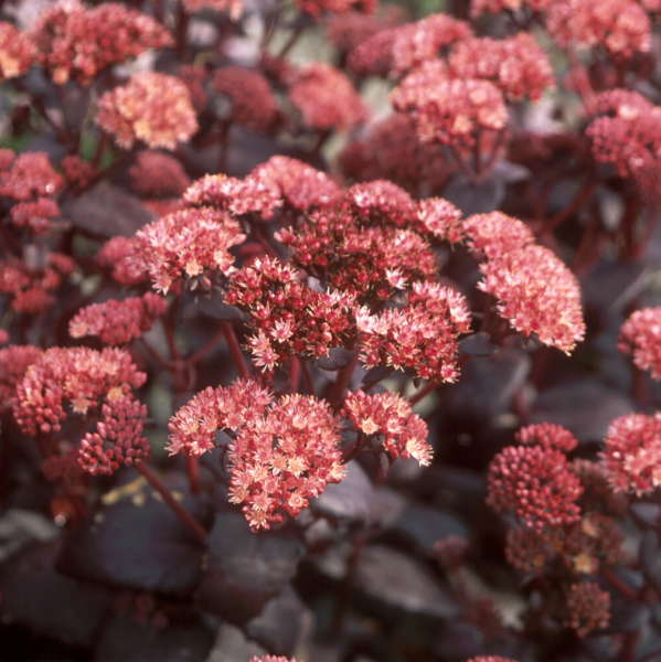 Sedum 'Purple Emperor' Autumn Stonecrop
