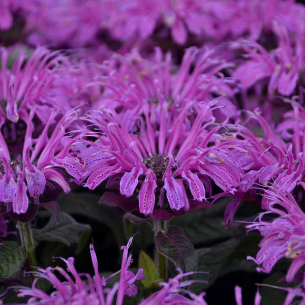 Monarda 'Leading Lady Plum' Bee Balm