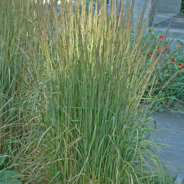 Calamagrostis 'Avalanche' Variegated Feather Reed Grass