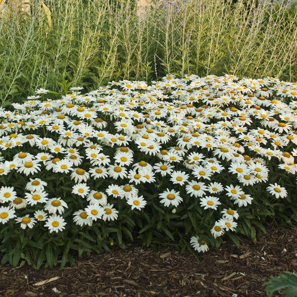 Leucanthemum 'Snowcap' Shasta Daisy