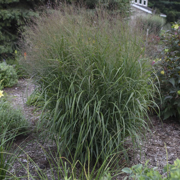 Panicum 'Apache Rose' Switch Grass